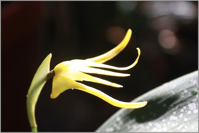 Maxillaria reicher