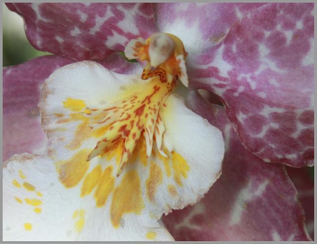 Makro: Orchidee