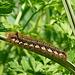 Drinker Moth Caterpillars