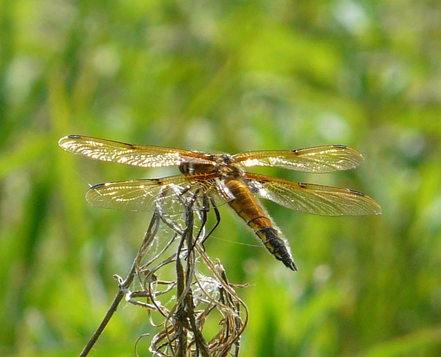 Four Spotted Chaser Likely Female