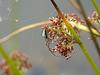 Tetragnatha Extensa Spider