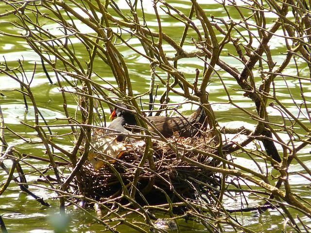 Moorehen on the Nest