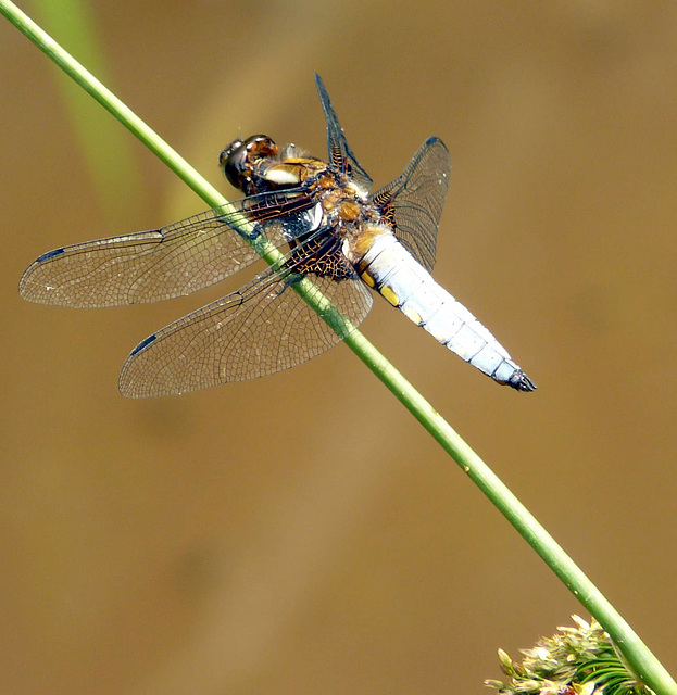 Broad-Bodied Chaser -Male Top