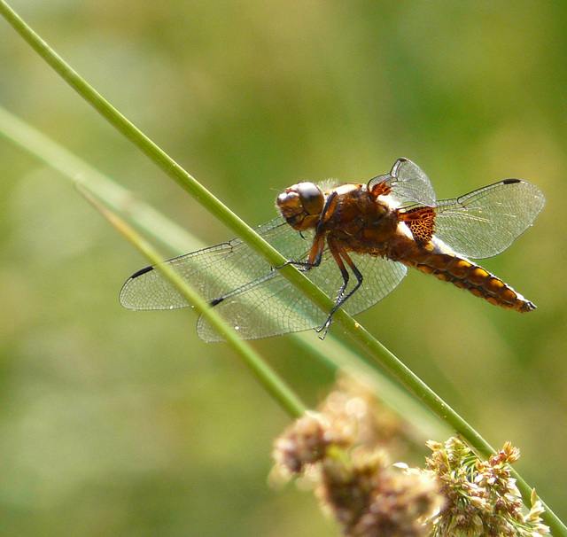 Broad-Bodied Chaser -Male Side