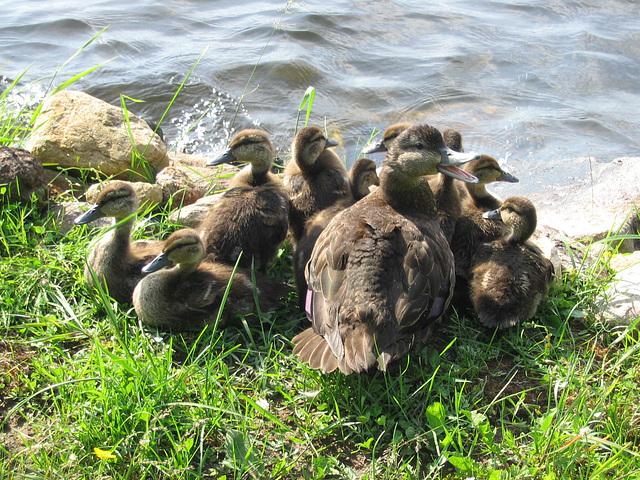 les canards..25 juin 003