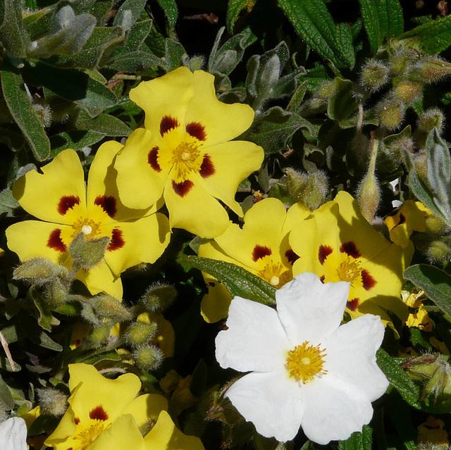 Cistus like Flowers