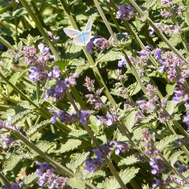 Cat Mint & Common Blue