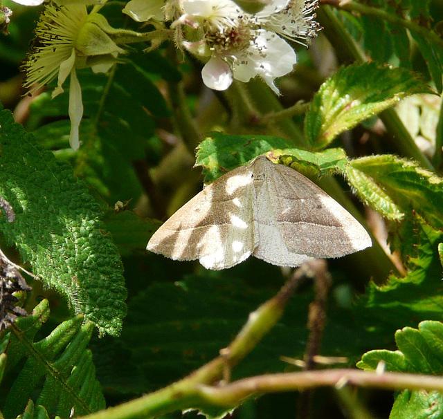 Brown Silver-line Moth