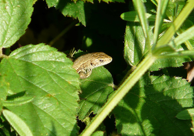 Common Lizard Young 2