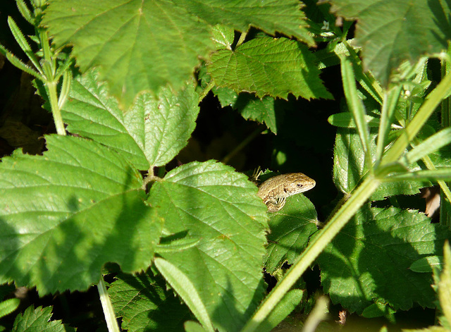 Common Lizard Young 1