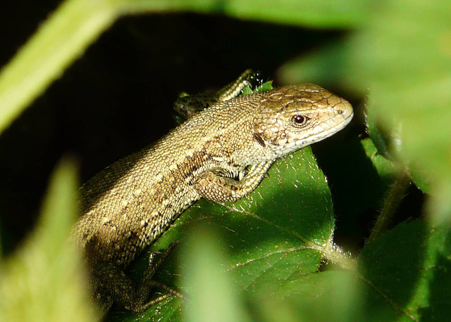 Common Lizard Young 3