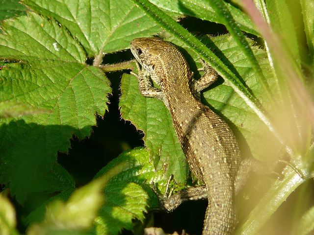 Common Lizard Young 4