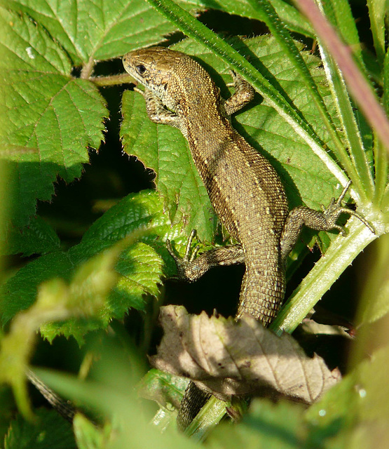 Common Lizard Young 5