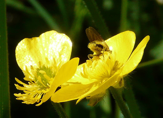 Buttercup Visitor