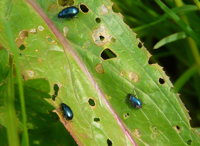 Mint Leaf Beetles