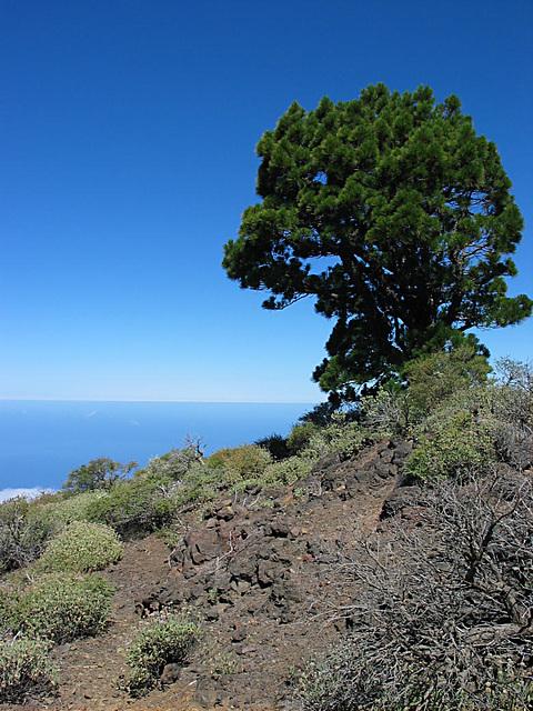 Pinie auf dem Vulkan Birigoyo