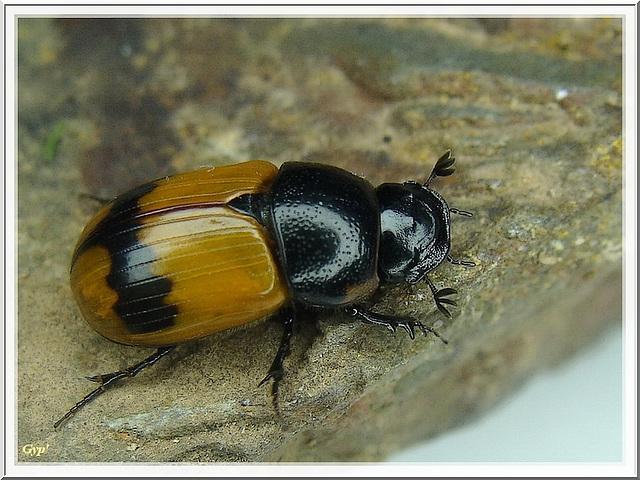Aphodius conjugatus
