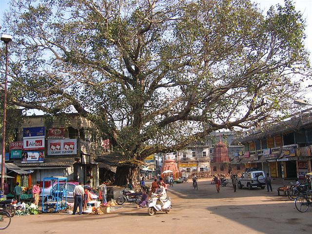 Grand arbre à Bhubaneshwar