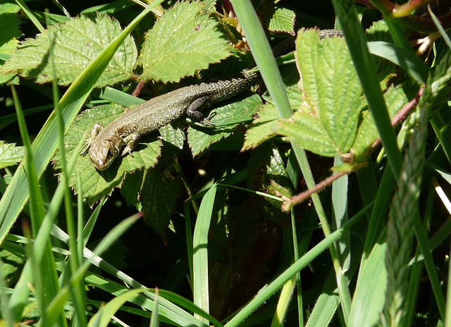 Common Lizard 1