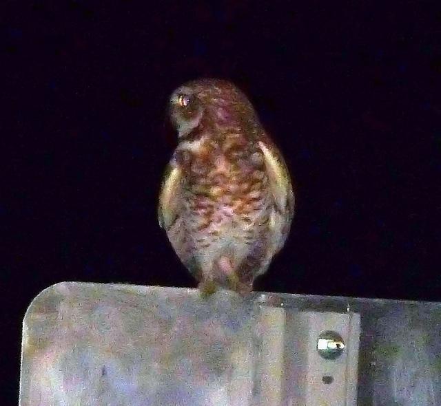 City Council Owl (3767)