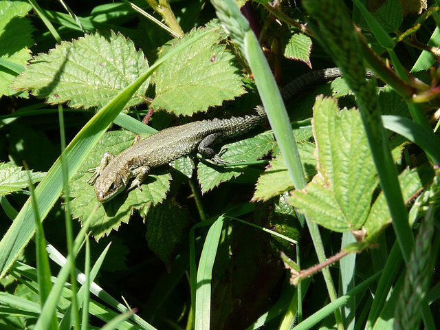 Common Lizard 3