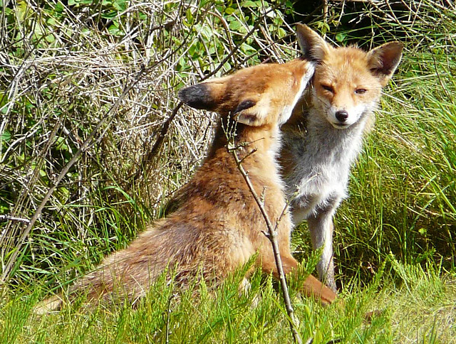 Red Foxes 2