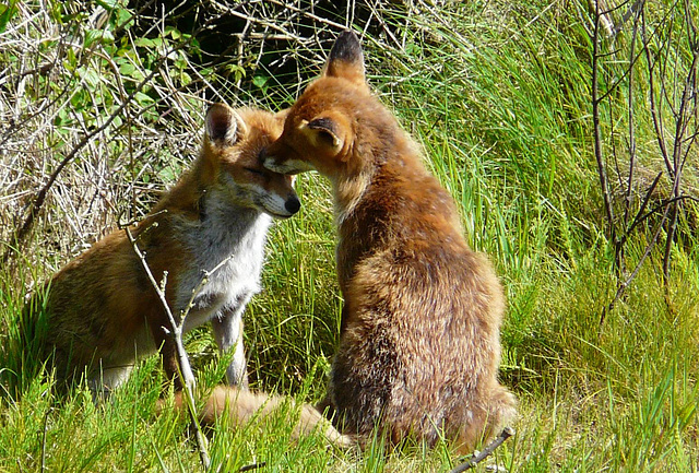 Red Foxes 3