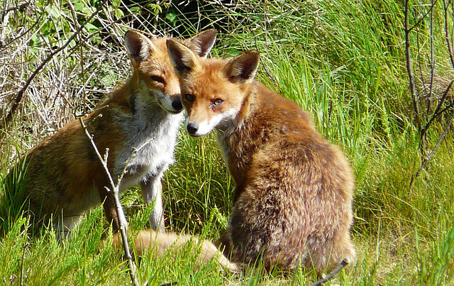 Red Foxes 5