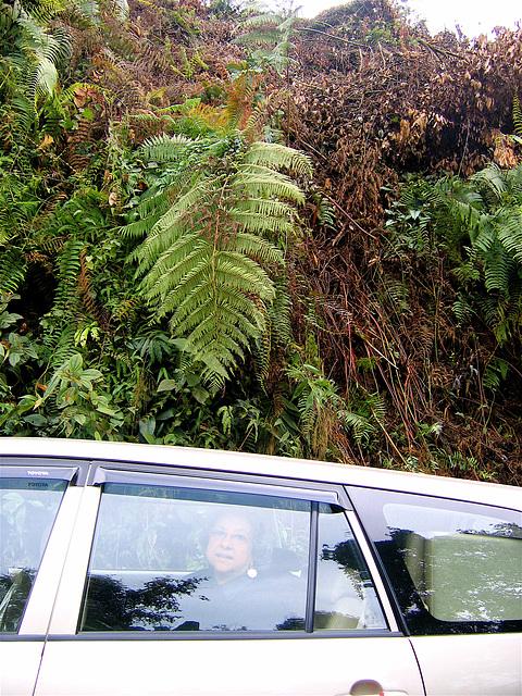 Giant fern of Arunachal