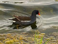 Polla de agua, (Gallinula chloropus)