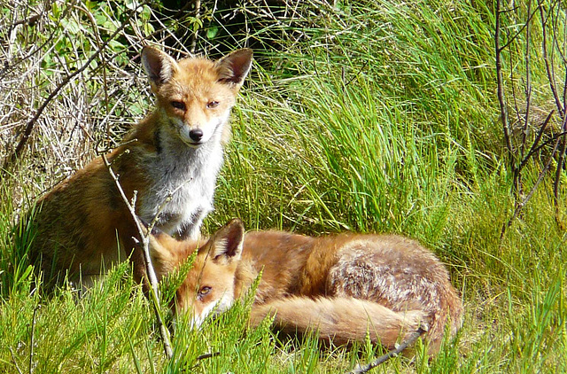 Red Foxes 6