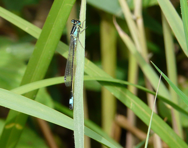 Blue-tailed Damselfly 2