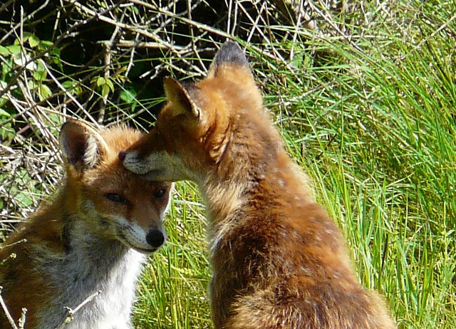 Red Foxes 4