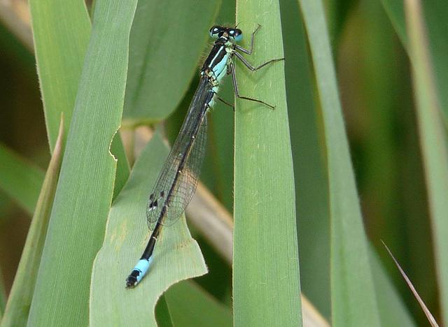 Blue-tailed Damselfly 3