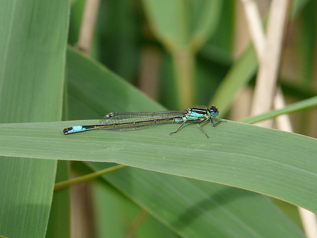 Blue-tailed Damselfly 6
