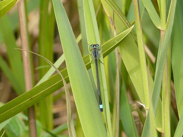Blue-tailed Damselfly 1