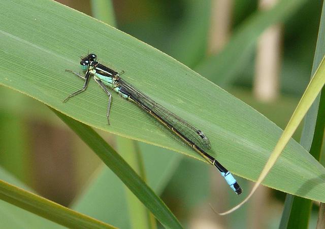 Blue-tailed Damselfly 7