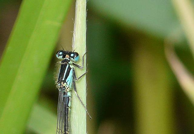 Blue-tailed Damselfly 4