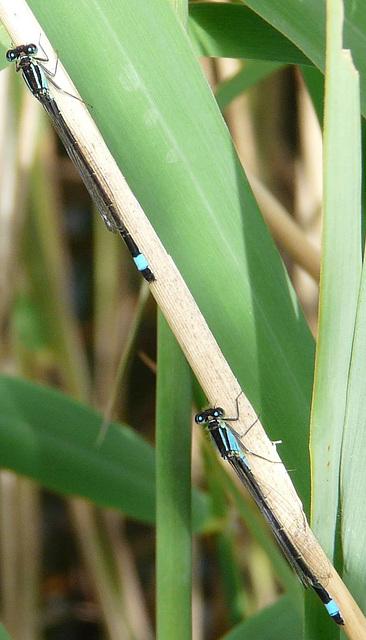 Blue-tailed Damselflies 8