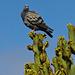 Paloma bravía (Columba livia )