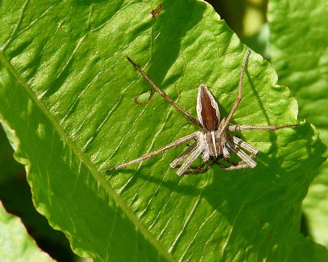Nursery Web Spider 1