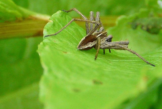 Nursery Web Spider 2