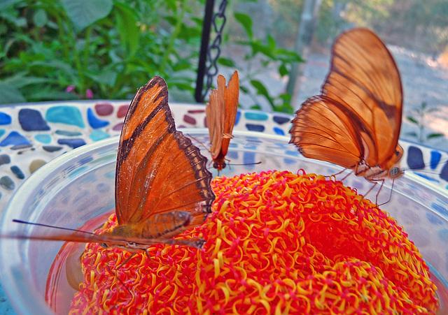 Living Desert Butterflies (2112)