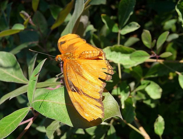 Living Desert Butterfly (2108)
