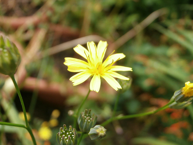 Another wild flower - tiny though