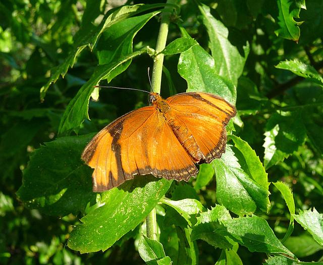 Living Desert Butterfly (2115)