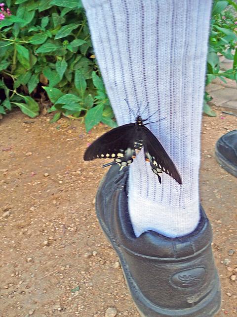 Living Desert Freshly Emerged Butterfly (2102)