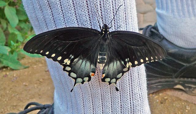 Living Desert Freshly Emerged Butterfly (2103)