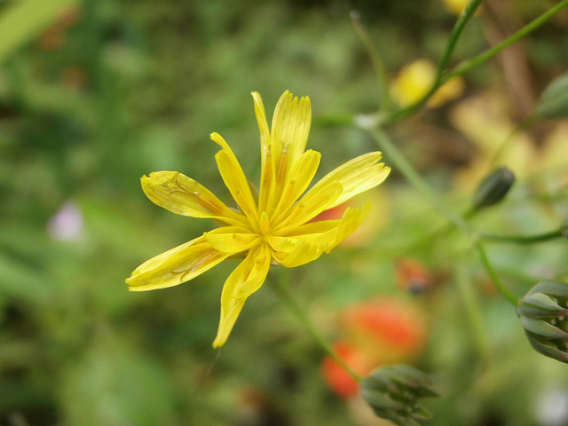 Another little wild flower