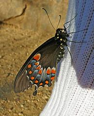 Living Desert Freshly Emerged Butterfly (2105)
